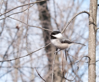 black-capped-chickadee-mud-lake-barrie-thomas