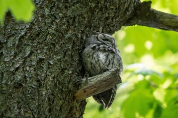 screech-owl-by-anne-jones