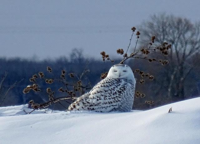 Honourable Mention - Happiness by Pamela Byrtus (snowy owl)