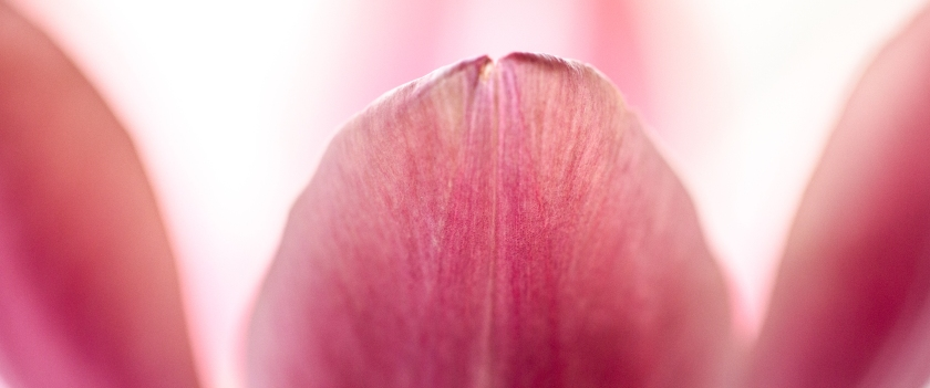 Pink Tulip by Shirley LeClair