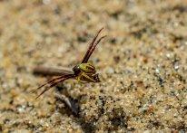 Dune Spider 1