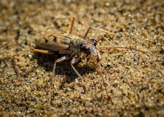 Ghost Tiger Beetle 1