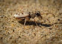 Ghost Tiger Beetle 2