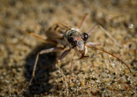 Ghost Tiger Beetle 5