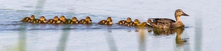 Ducks Banner by Phil Tughan