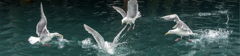 Seaguls chasing fish scraps by Peter von Moos