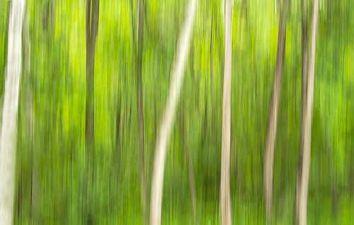 Young Birch trees by Shirley LeClair